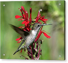 Female Ruby-throated Hummingbird Dsb0325 Acrylic Print