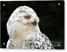 Female Snowy Owl Close Up Acrylic Print