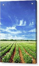 Field Acrylic Print by Lisegagne