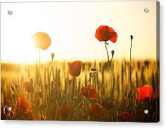 Field Of Poppies At Dawn Acrylic Print