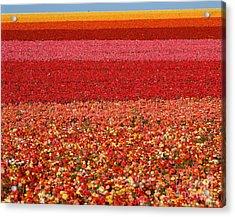 Field Of Ranunculus Flowers At Carlsbad Acrylic Print