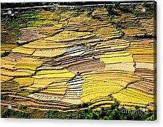 Acrylic Print featuring the photograph Fields Of Rice by Scott Kemper