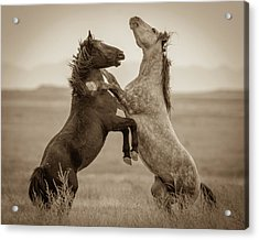 Fighting Stallions Acrylic Print