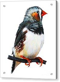 Finches Bird Drawing Taeniopygia Guttata Acrylic Print