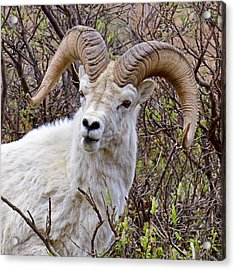 Fire Eyes - Dall Sheep, Denali Acrylic Print