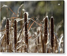 Acrylic Print featuring the photograph Five Cattails by Rob Huntley
