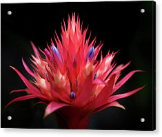 Flaming Flower Acrylic Print