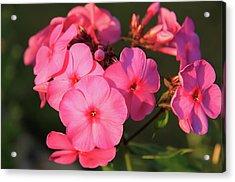 Flaming Pink Phlox Acrylic Print