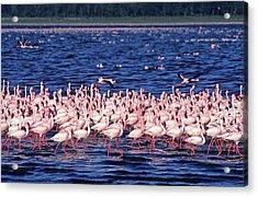 Flamingo Colony Acrylic Print by Nature/uig