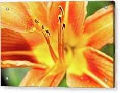Flower Pollen Acrylic Print