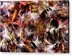 Flower Seeds-1 Acrylic Print