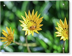 Yellow Flowers And A Bee Acrylic Print