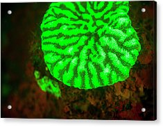 Fluorescence Emitted In Corals Acrylic Print by Stuart Westmorland