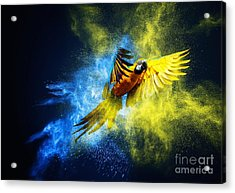 Flying Ara Parrot Over Colourful Powder Acrylic Print
