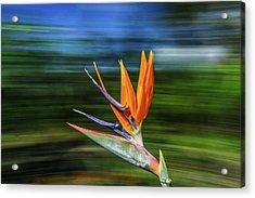 Flying Bird Of Paradise Acrylic Print