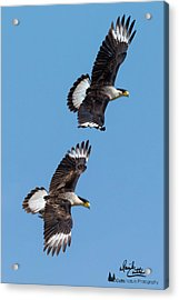 Flying Caracaras Acrylic Print