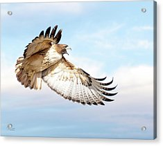 Flying Red-tailed Hawk Acrylic Print