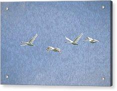 Flying Swans Art Acrylic Print