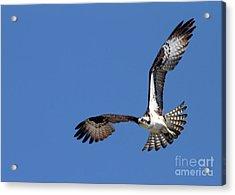 Focused Osprey Acrylic Print