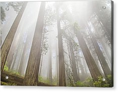 Fog In The Redwoods Acrylic Print