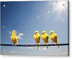 Four Canaries On Wire, One Bird Chirping Acrylic Print by Pm Images