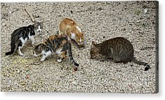 Acrylic Print featuring the photograph Four Foraging Felines by PJ Boylan