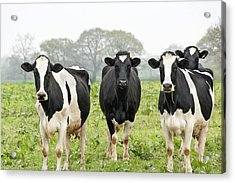 Four Holstein Friesian Cows Standing In Acrylic Print