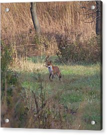 Fox On Prowl Acrylic Print