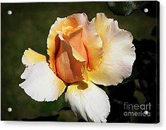 Fragrant Rose Acrylic Print