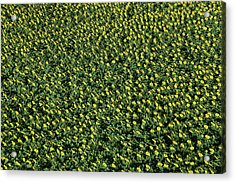 France, Allier, Vicq, Blooming Fields Acrylic Print by Cormon Francis / Hemis.fr