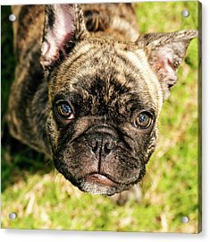 French Bull Dog Acrylic Print