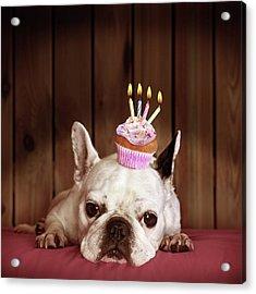 French Bulldog With Birthday Cupcake Acrylic Print