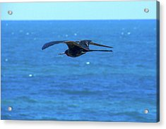 Frigatebird Acrylic Print