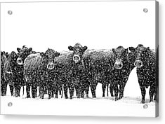 Frosty Faces Black Angus Cows Montana Acrylic Print