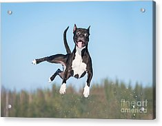 Funny American Staffordshire Terrier Acrylic Print