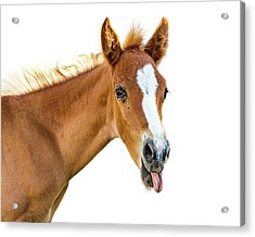 Funny Baby Horse Sticking Tongue Out Acrylic Print