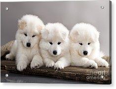 Funny Puppies Of Samoyed Dog Or Bjelkier Acrylic Print