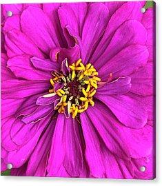 Fuschia Bloom Acrylic Print