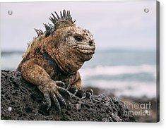 Galapagos Iguana Acrylic Print