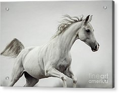 Acrylic Print featuring the photograph Galloping White Horse by Dimitar Hristov