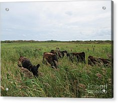 Galloway Cows On Texel North Holland Acrylic Print