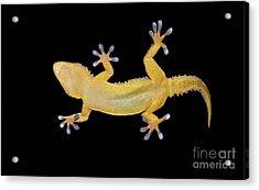 Gecko Lizard On Clear Glass Acrylic Print