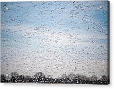 Geese In The Flyway Acrylic Print