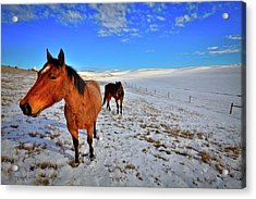 Acrylic Print featuring the photograph Geldings In The Snow by David Patterson