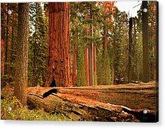General Grant Grove Trees Acrylic Print
