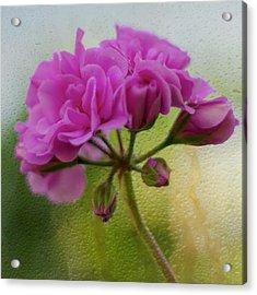 Geranium Rain  Acrylic Print
