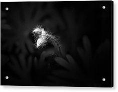 Geranium Sanguineum Buds Acrylic Print
