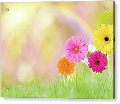 Gerbera Daisies In A Field With Rainbow Acrylic Print