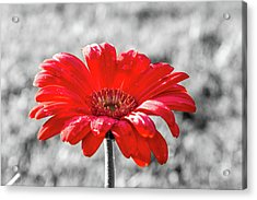 Gerbera Daisy Color Splash Acrylic Print