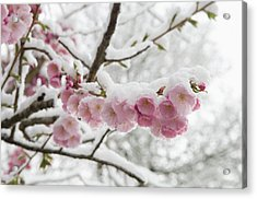 Germany, Munich, Snow Covered Cherry Acrylic Print by Westend61